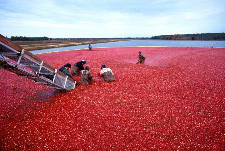 cranberry-62948_960_720