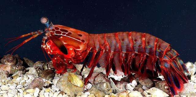 mantis-shrimp-587725_640.jpg