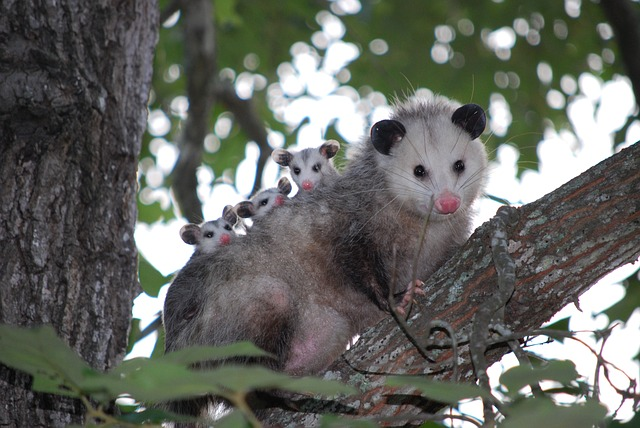 possum-1802326_640