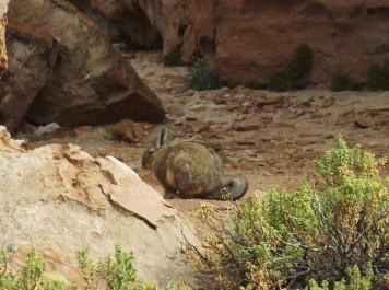 Une viscache, un grand rongeur typique des plaines du sud de la Bolivie (Crédits : Célia Alaminos)
